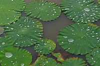 Raindrops on the leaves of Sacred Lotus, Nelumbo nucifera, a very well-known plant in all of Asia, and seen as sacred to the followers of several religions, most of all to Taoists, Buddhists and Hindus. It is an aquatic plant with perennial roots that survive over many years (possibly up to a thousand years!). Its seeds also have a remarkable survival capacity, and the oldest seeds that have been proven to be brought to germination were 1300 years old, from North-East China. Xinqing National Wetland Park, near Yichun city, Heilongjiang Province, China.