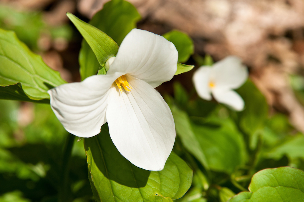 Trillium blooming in Northwest Michigan