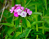 Sweet William (Dianthus). Image taken with a Fuji X-T2 camera and 100-400 mm OIS lens.