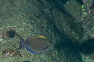 Brown Surgeonfish, Acanthurus nigrofuscus, (Forsskål, 1775), Lanai, Hawaii