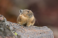Living in the talus fields of the Rocky Mountain high country, the American pika is one of the cutest residents of the Greater Yellowstone Ecosystem. They can often be observed during late summer and fall busily gathering grasses they will feed on during the long Wyoming winters.