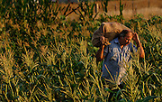 Light from the sun cresting the horizon highlights Lester Schaer as he carries a burlap bag of freshly-picked sweet corn Tuesday to the truck on his farm near Chillicothe, Illinois. ©Peoria Journal Star/David Zalaznik