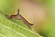 Grey Dagger Acronicta psi Length 23mm. An aptly-named moth that rests with wings held in shallow tent-like manner. Adult has pale grey forewings with a slightly powdery look and striking black dagger-like markings. Flies June–August. Larva has a dark lateral band containing red spots on each segment, bordered above and below by a yellowish bands; note the prominent tuft of hairs. Larva feeds on deciduous shrubs and trees. Widespread and common. Similar species Dark Dagger A. tridens is virtually indistinguishable as an adult; larva is very different, with orange-yellow bands bordering a black lateral band containing white spots.