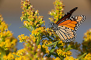 Monach butterfly; Danaus plexippus; on Seaside Goldenrod; NJ, Forsythe NWR
