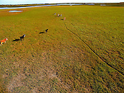 Aerial of cattle on Florida savannah near the St. John River