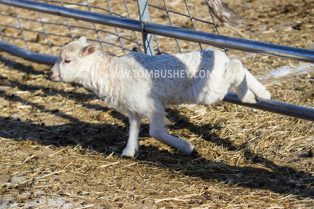 A lamb jumps through a fence on a cold winter afternoon at Banbury Cross Farm in Goshen, New York.