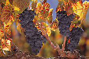 Napa Valley, California. Red grape varietal for wine; ready to harvest.
