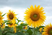 Field of giant sunflowers in Hawaii