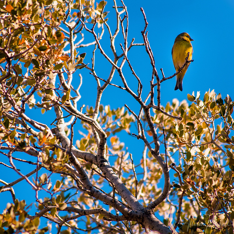 A small yellow songbird perches in the California desert sunshine, framed by the branches and yellow leaves of a tree against blue sky