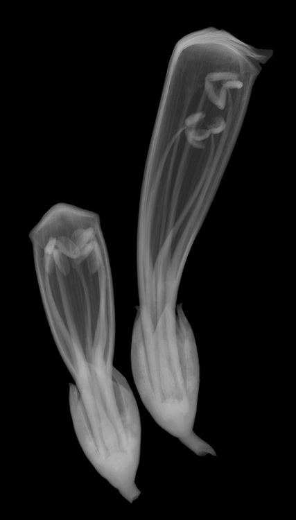 X-ray image of trumpet vine buds (Campsis radicans, white on black) by Jim Wehtje, specialist in x-ray art and design images.