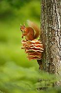 Red Squirrel (Sciurus vulgaris) sitting on Chicken of the Woods fungus ( Laetiporus), in the Cairngorms National Park, Scotland