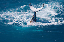 A Humpback whale displays her tail off James Price Point on the Kimberley coast of Western Australia.