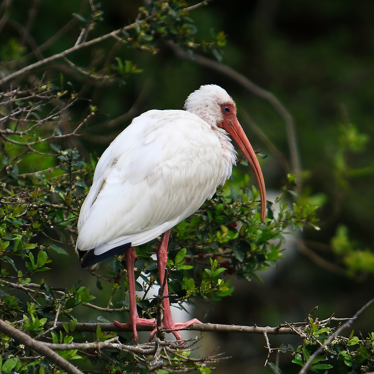 A wild adult white ibis (Eudocimus albus) roosting at the St. Augustine Alligator Farm Rookery, Anastasia Island, St. Augustine, Florida