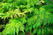 Ferns along the Devastation Trail, Hawaii Volcanoes National Park, Hawaii USA