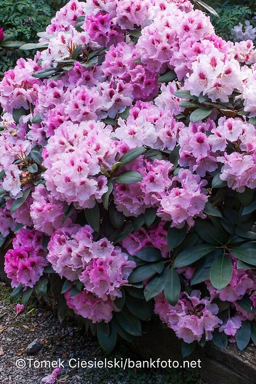 Rhododendron `Nicoletta`