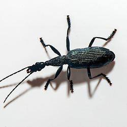 """Besouro fotografado em Sooretama, Espírito Santo -  Sudeste do Brasil. Bioma Mata Atlântica.<br /> <br /> ENGLISH: Beetle photographed in Sooretama, Espírito Santo - Southeast of Brazil. Atlantic Forest Biome."""