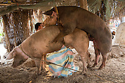 A bore and sow pig mating with the male pig handler sit behind to ensure the intercourse is successful in Battambang region, Cambodia, South East Asia. (photo by Andrew Aitchison / In pictures via Getty Images)