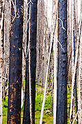 Dead  standing trees in a forest recovering from a fire near Sylvan Pass in Yellowstone National Park, Wyoming.