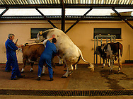 08/06/04 - MONTROND LES BAINS - LOIRE - FRANCE - Prelevement de semences CHAROLAIS - Photo Jerome CHABANNE