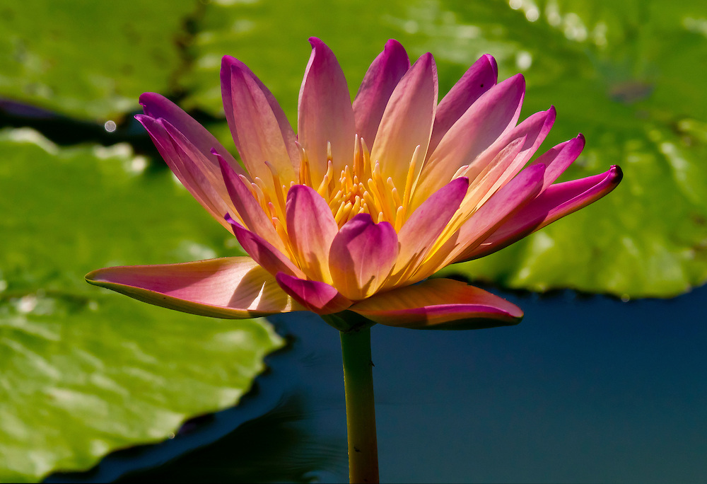 A water lily at the lily pond.