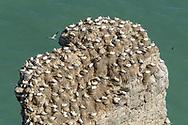 Gannets at RSPB Bempton