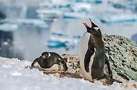 Gentoo penguin, Pygoscelis papua at Neko Harbor on the Antarctic Peninsula.