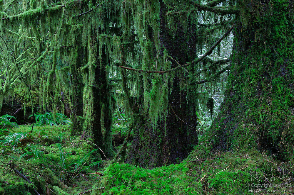 Heavy moss hangs from four old-growth sitka spruce (Picea sitchensis) trees in the Hoh Rain Forest in Olympic National Park, Washington. The Hoh Rain Forest is one of the largest temperate rain forests in the United States. The sitka spruce trees can grow to be 300 feet (100 meters) tall, with a diameter of 16 feet (5 meters). Trees in the Hoh Rain Forest can grow to tremendous size as the area receives an average of 150 inches (4 meters) of rain annually.