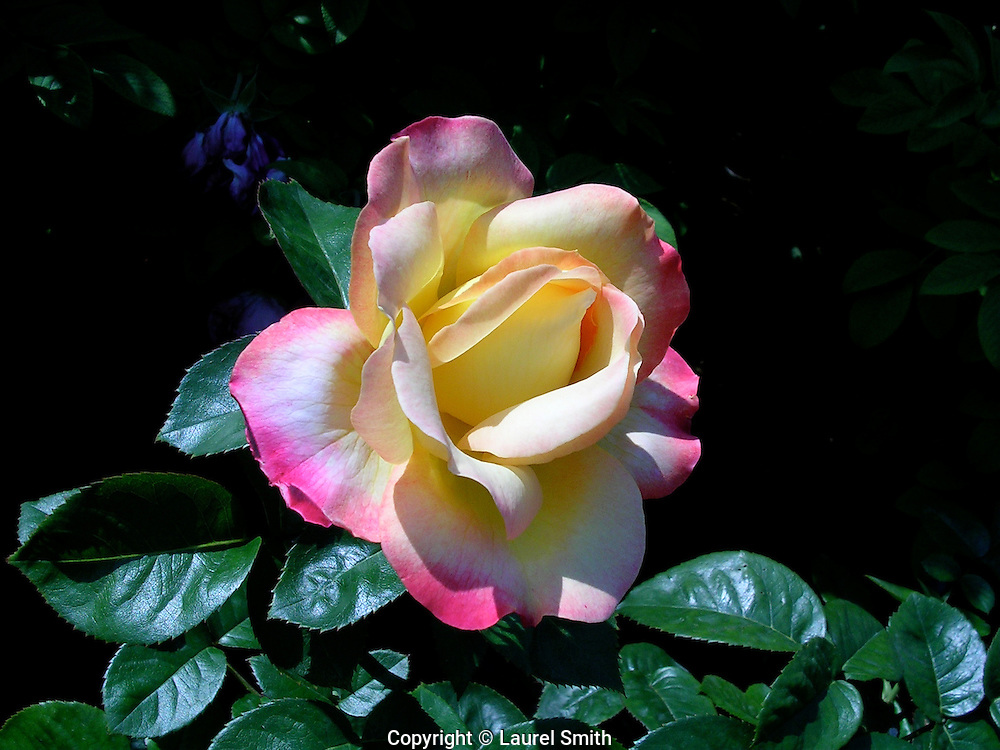 Red and Yellow Rose ~ Midsummer garden rose, the beauty of summer.<br />