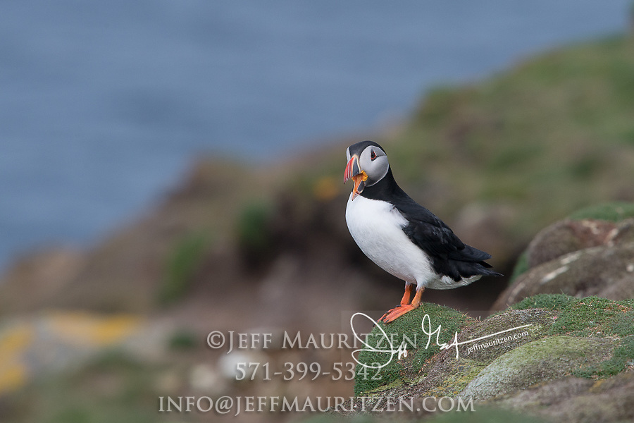 An Atlantic puffin stands on a grassy mound near its burrow on Fair Isle, Scotland.