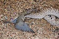 A Western Diamondback rattlesnake (Crotalus atrox) strikes, catches and then swallows a Morning Dove (Zenaida macroura). (Arizona)