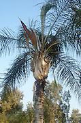 Syagrus romanzoffiana, Queen Palm AKA Cocos plumosa
