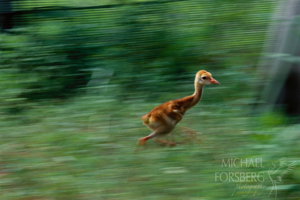 A captive-raised Mississippi Sandhill chick runs in a protected chick exercise yard at the Audubon Nature Center, New Orleans, LA.