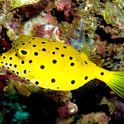 Yellow Boxfish inhabit reefs. Pictue taken Dumaguete, Philippines.