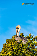 Brown Pelican in Ten Thousand Islands NWR in Everglades National Park, Florida, USA
