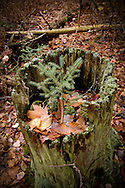 A nurse stump an old stump with a tree growing from it in the forest of Michigan's Upper Peninsula.