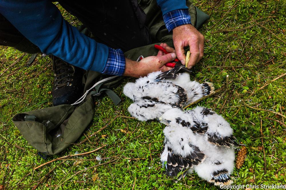 Langholm, Scottish Borders, UK. 20th June 2015. Ringing Goshawk chicks just under a month old.