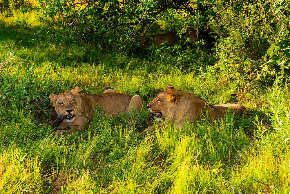 Female lion eating the carcass of a wildebeest, near Kwara Camp, Okavango Delta, Botswana.