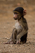 baby Chacma baboon sitting nervously on the road