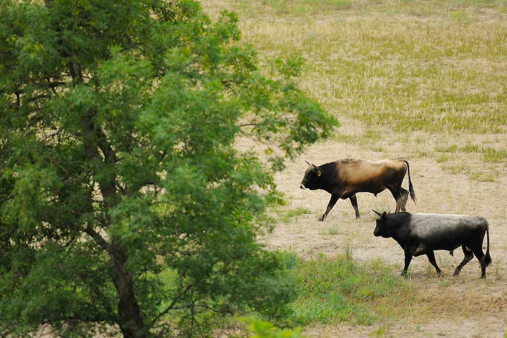 Primitive cattle breed, near relative to the aurochs, Bos primigenius, Letea forest, Strictly protected nature reserve, Danube delta rewilding area, Romania