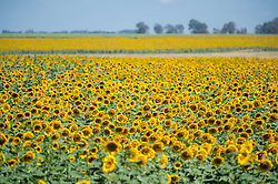 March 8, 2015 - Western Cape, South Africa - Bloemfontein, South Africa - Sunflower (helianthus)  Farm (Credit Image: © Edwin Remsberg/VW Pics via ZUMA Wire)