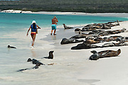 "Galápagos Sea Lions (Zalophus wollebaeki) bask and ignore people on the sandy beach of Gardner Bay, a wet landing location on Española (Hood) Island, Galapagos Islands, Ecuador, South America. This mammal in the Otariidae family breeds exclusively on the Galápagos Islands and in smaller numbers on Isla de la Plata, Ecuador. Being fairly social, and one of the most numerous species in the Galápagos archipelago, they are often spotted sun-bathing on sandy shores or rock groups or gliding gracefully through the surf. They have a loud ""bark"", playful nature, and graceful agility in water. Slightly smaller than their Californian relatives, Galápagos Sea Lions range from 150 to 250 cm in length and weigh between 50 to 400 kg, with the males averaging larger than females. Sea lions have external ear-like pinnae flaps which distinguish them from their close relative with whom they are often confused, the seal. When wet, sea lions are a shade of dark brown, but once dry, their color varies greatly. The females tend to be a lighter shade than the males and the pups a chestnut brown. In 1959, Ecuador declared 97% of the land area of the Galápagos Islands to be Galápagos National Park, which UNESCO registered as a World Heritage Site in 1978. Ecuador created the Galápagos Marine Reserve in 1998, which UNESCO appended in 2001."