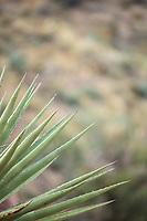 Cactus, Aravaipa Canyon Preserve, AZ.