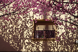 Blossom and shadows on a wall at the end of winter.