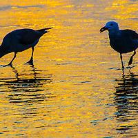 Seagulls amid the sunset on Sunday, July 14, 201.