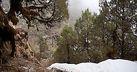 Trekking path covered with snow descending past pine trees, near Ghopte, Langtang National Park, Nepal