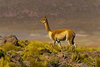 Vicunas, Atacama Desert near the El Tatio geothermic basin, Chile