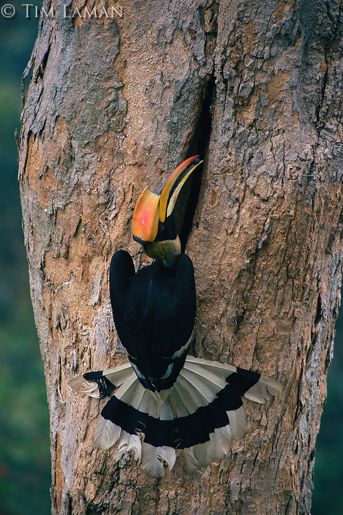 Great Hornbill (Buceros bicornis) delivering food to the female inside the nest.  .Khao Yai National Park, Thailand
