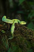 Eyelash Viper (Bothriechis schlegelii)<br /> Coastal<br /> ECUADOR<br /> Vivarium ID # 3212<br /> Captive<br /> Southern Mexico to Northern South America