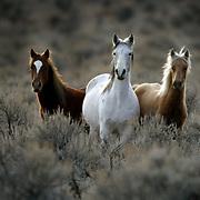 Wild horses roam through brush on Thursday, December 9, 2004 on the Yakama (cq) Indian Reservation.  The tribe has up to 5,000 wild horses.  Joshua Trujillo / Seattle Post-Intelligencer