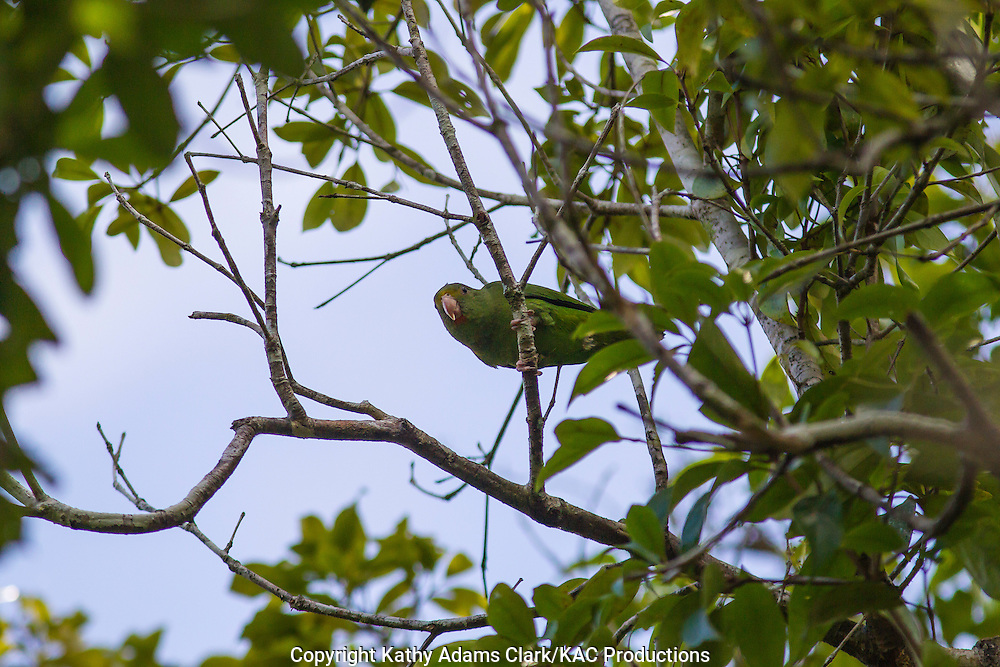 Cobalt-winged parakeet; Brotogeris cyanoptera; Inkaterra Amazonia; Madre de Dios River; Peru; Reserva Ecologica Inkaterra;